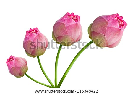 Beautiful lotus( lotus flower isolated on white background) - stock photo