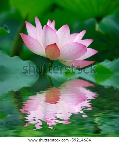 beautiful lotus with water reflection. - stock photo