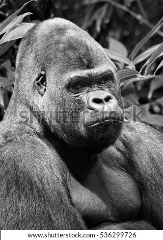Beautiful lowland gorilla with smart eyes looks into the distance on a background of African rain forest. Central Africa. Amazing close up image of a dominant male gorilla in a bush. African wildlife