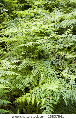 Beautiful lush ferns forming a thick foliage under trees.