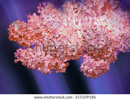Beautiful luxury flavor Lamiales tree twig with vivid amethyst coral color heads raceme. View close-up with space for text on dark blue indigo backdrop. Gift for loved women in Mother's Day - stock photo