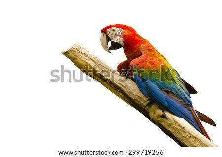 beautiful macaw bird - stock photo