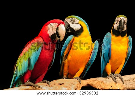 beautiful macaws eagerly looking at the camera - stock photo