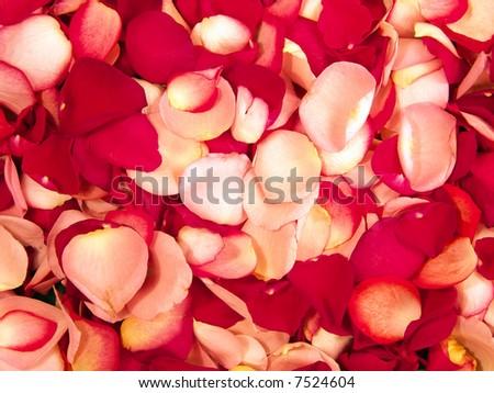 Beautiful macro close-up view of colorful rose petals pattern - stock photo