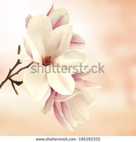 beautiful magnolia  - stock photo