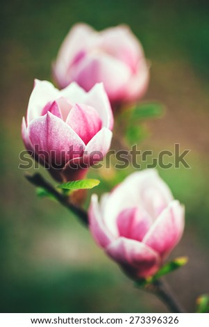 Beautiful magnolia blossoms in the spring, white and pink magnolia blooming - stock photo