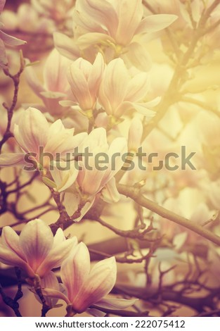 Beautiful magnolia flower and sunlight - stock photo