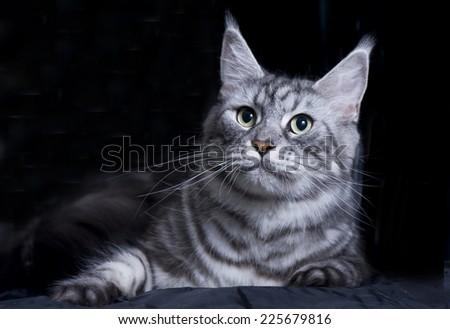 Beautiful maine coon cat  - stock photo