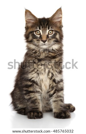 Beautiful Maine Coon kitten sits in front of white background