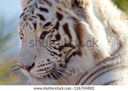 Beautiful Majestic White Tiger profile view in the brush - stock photo