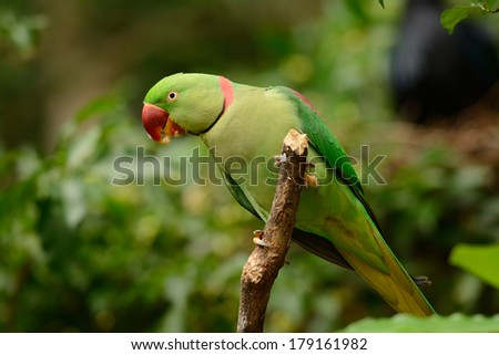 beautiful male Alexandrine Parakeet (Psittacula eupatria) in Thai forest
