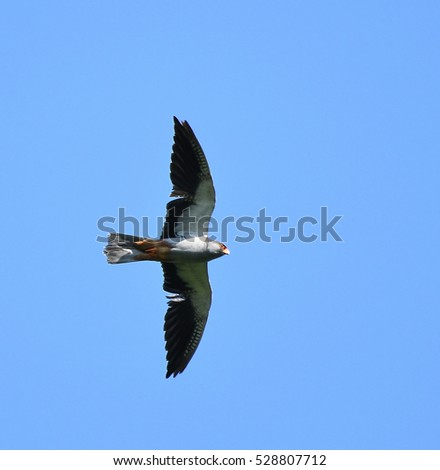 Beautiful Male Amur Falcon (Falco amurensis), a small bird of prey or raptor, is flying and searching small insects in clear blue sky at Nagaland, India. Freedom concept.
