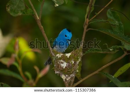 beautiful male black-nape monarch (Hypothymis azurea) feeding his chick - stock photo