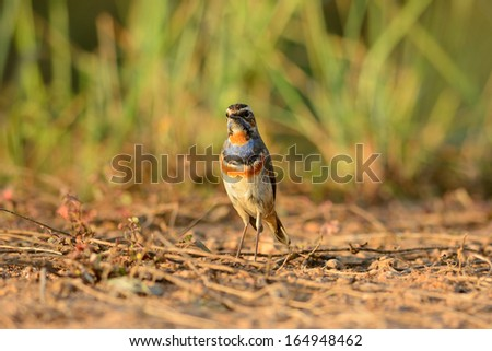 beautiful male Bluethroat (Luscinia svecica) standing on ground