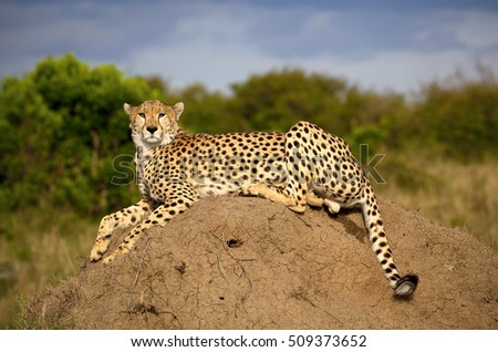 Beautiful male cheetah lying on termite mound gazing at viewer in Kenya's Masai Mara