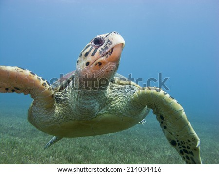 Beautiful male Hawksbill turtle (Eretmochelys imbricata) swimming towards the surface - stock photo