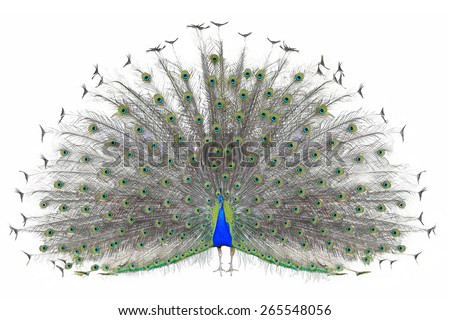 Beautiful Male Indian  Peacock displaying tail feathers Isolated On White Background,front view - stock photo