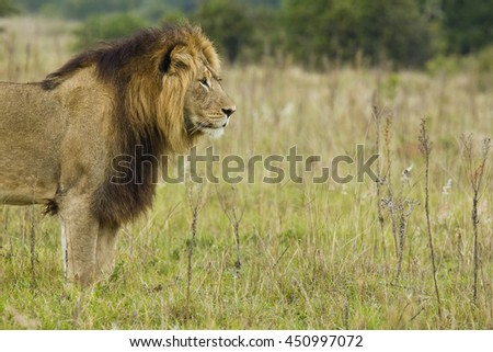 Beautiful male lion with a long mane standing and starring into the distance  - stock photo