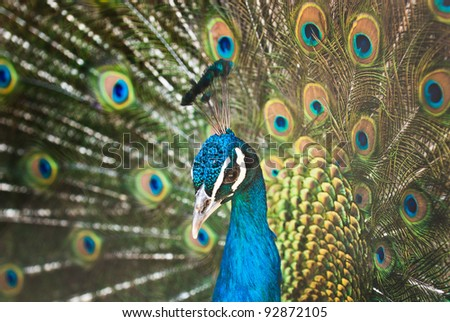 Beautiful male of peacock with a open tail - stock photo