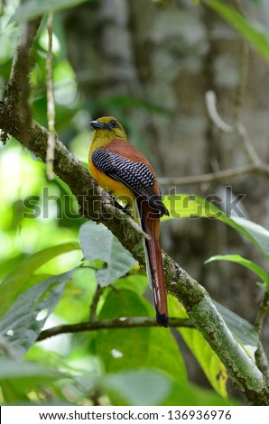 beautiful male Orange-breasted Trogon (Harpactes oreskios) sitting on branch at Kaeng Krachan National Park,Thailand