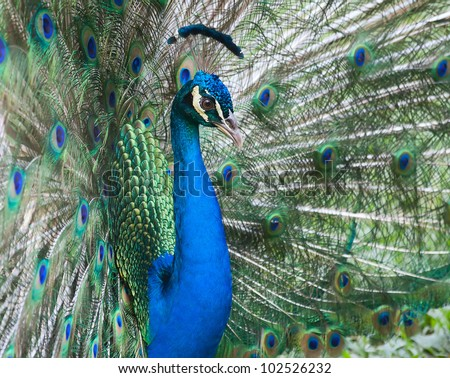 Beautiful male peacock with colorful tail fully open