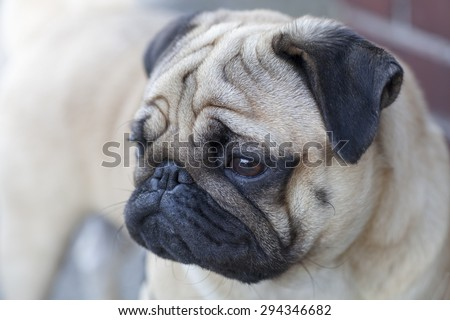 Beautiful male Pug puppy with a sad face very serious siting in front of the light gray background - stock photo
