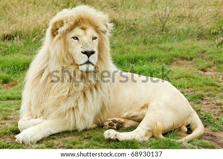 beautiful male white lion lying in some grass - stock photo