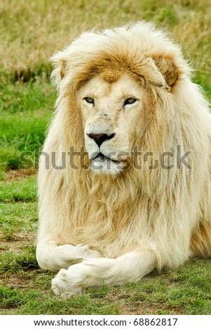 beautiful male white lion resting in the hot african sun - stock photo