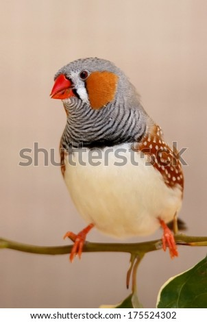 Beautiful male zebra finch bird perched on a twig with leaves - stock photo