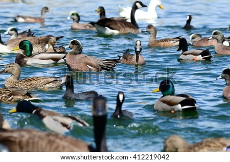 Beautiful Mallard Ducks male drakes have a glossy green head, females hens are mainly brown speckled plumage.