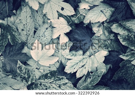 Beautiful maple autumn leaves fall collage in blue green color tone. Lovely desaturated autumn fall leaves collage with copy space background. Blue green color tone effect used. - stock photo