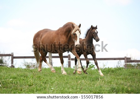 Beautiful mare with foal running on pasturage - stock photo
