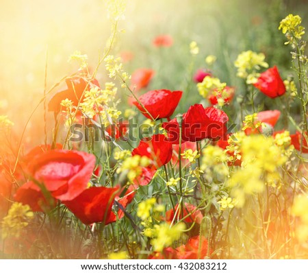 Beautiful meadow flowers lit by sunlight - red poppy flower and yellow flowers