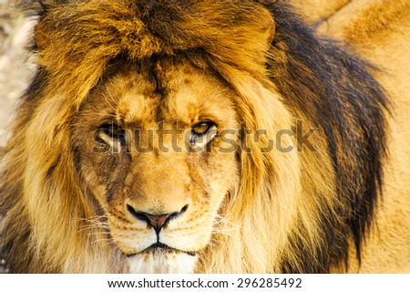 Beautiful Mighty Lion - stock photo