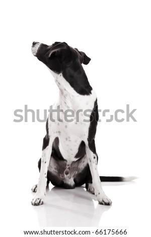Beautiful mixed breed dog sitting and isolated on white background - stock photo