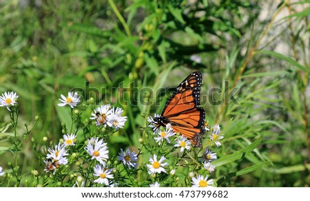 Beautiful Monarch Butterfly on Beaver Island, Michigan, where milkweed grows along the shores of Lake Michigan, naturally.