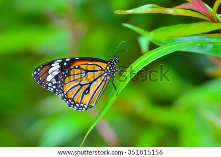 Beautiful monarch butterfly on green leaf. - stock photo
