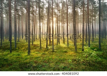 Beautiful morning fog and sunbeams in the pine forest - stock photo