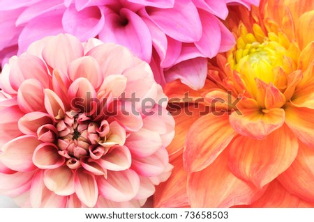 Beautiful Multicolored Dahlias Close-up - stock photo
