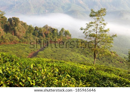Beautiful mysty morning over fresh green tea plantation in Munnar, Kerala, India  - stock photo