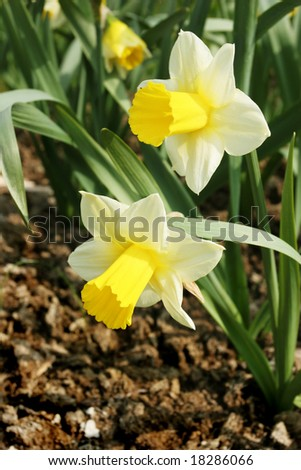 Beautiful narcissus in spring garden