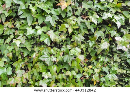 Beautiful natural green leaf wall, green background