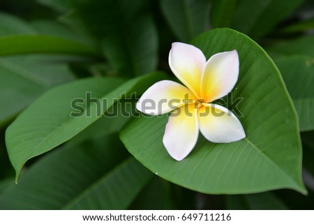 Beautiful natural plumeria decoration with green leaf background