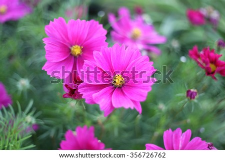 Beautiful nature background with pink Cosmos flowers - stock photo
