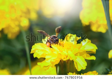 Beautiful nature merigold flowers,Yellow flowers are blooming in the morning have a bee worker with blurred background. select focus deep of feild.Thailand