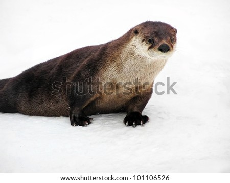 Beautiful North American river otter, Lontra canadensis, portrait on snow, with webbed claw feet visible.