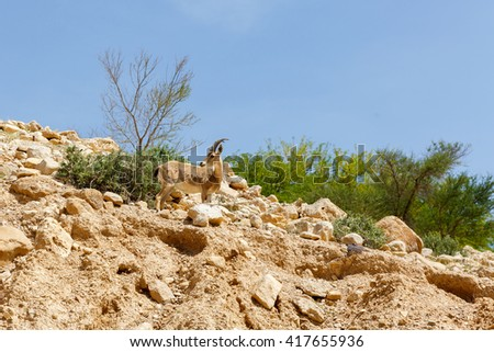 Beautiful nubian ibex (Capra nubiana) a desert-dwelling goat - stock photo