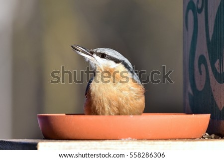 beautiful nuthatch with seed in bill