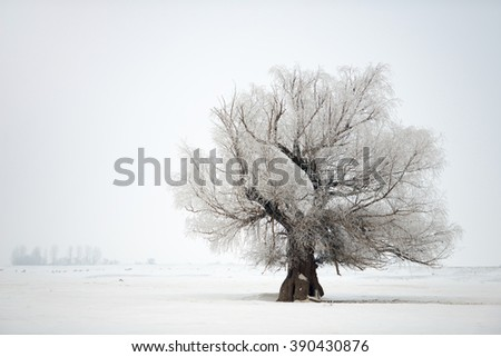 Beautiful oak tree winter on winter time