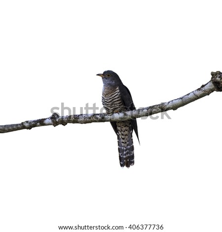 Beautiful of Cuckoo Bird, Indian Cuckoo (Cuculus micropterus) isolate on white background. - stock photo